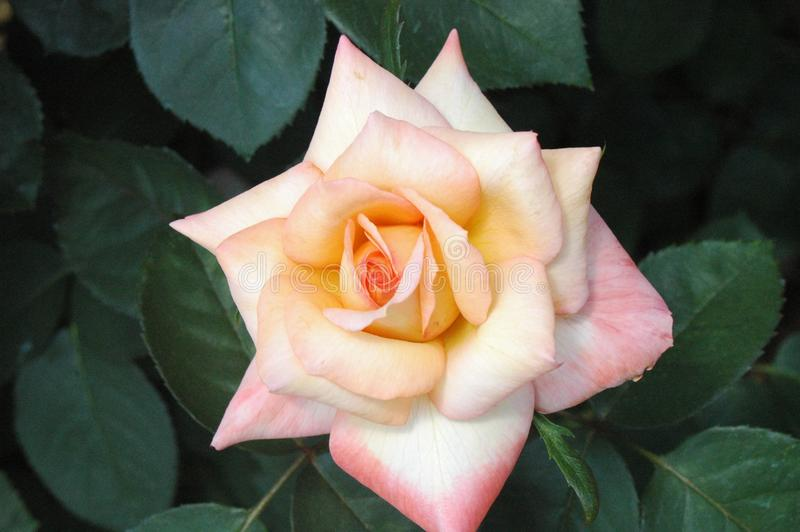 Pâle - rose rose au Mississippi photos libres de droits