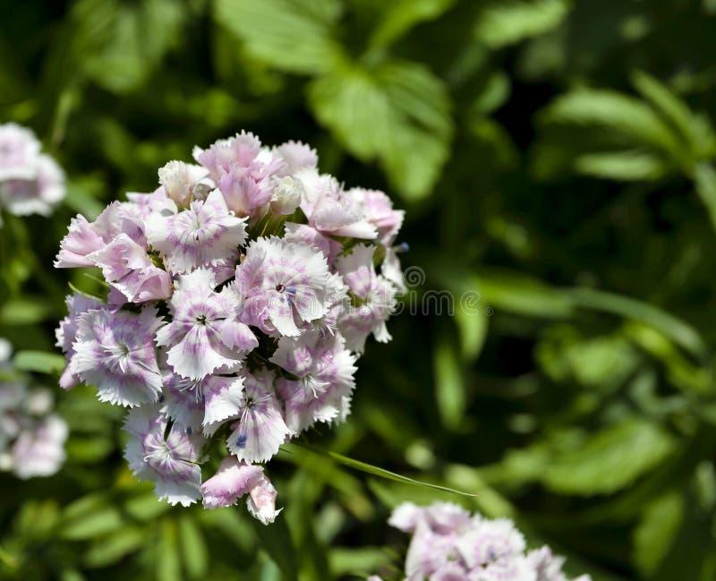 Pâlissez - l'oeillet de turc de fleurs de rose images stock