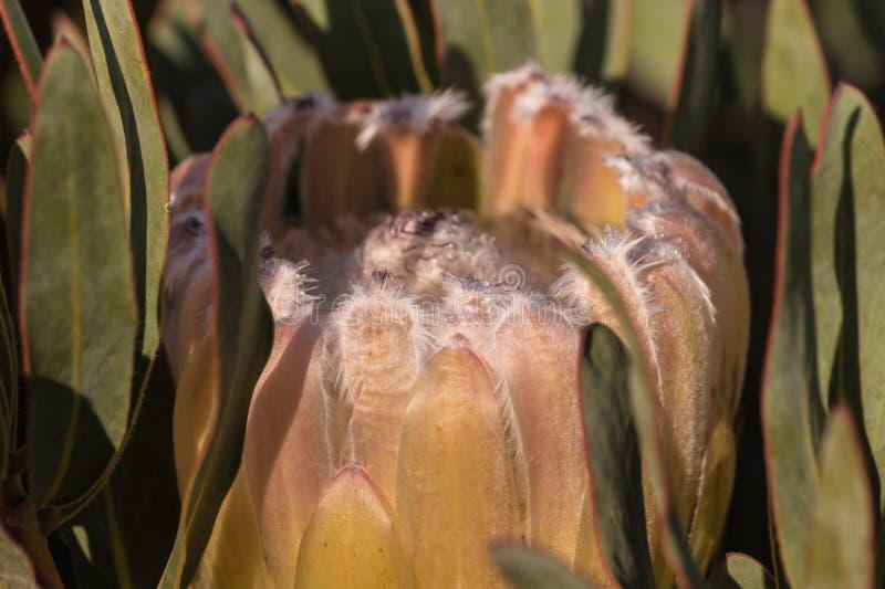 Pâlissez - le bourgeon rose de protea images stock