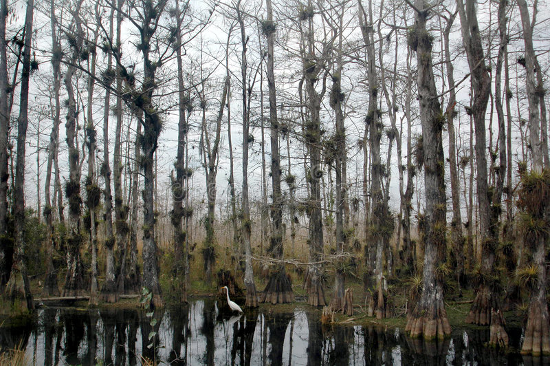 Pântano branco do cipreste do Egret fotos de stock royalty free