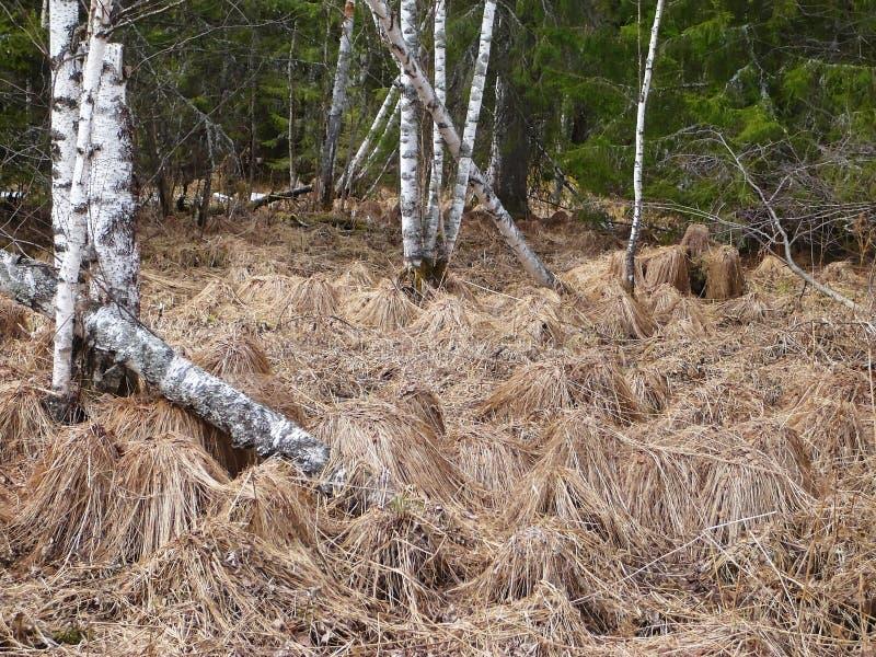 Pântano da floresta na primavera hummock imagem de stock royalty free