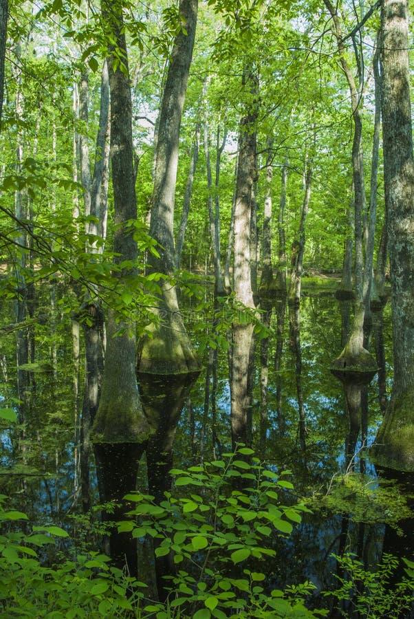 Pântano de Cypress, traço de Natchez, MS fotografia de stock