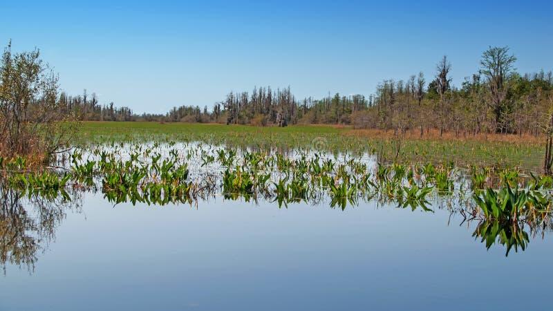 Pântano de Okefenokee, Geórgia, Estados Unidos foto de stock royalty free