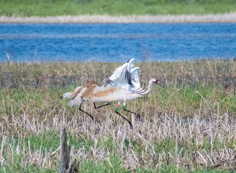 Pântano de Sandhill Crane Attacking Another Crane In imagens de stock