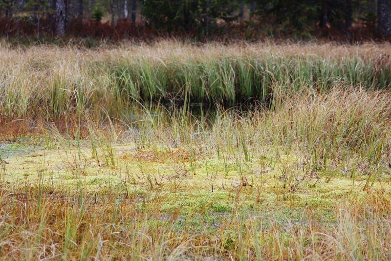 pântano do arando no outono na região de Arkhangelsk de Rússia foto de stock royalty free
