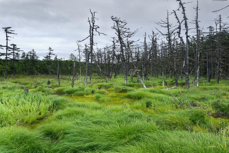 Pântano do norte e floresta spruce que crescem ao redor imagens de stock royalty free