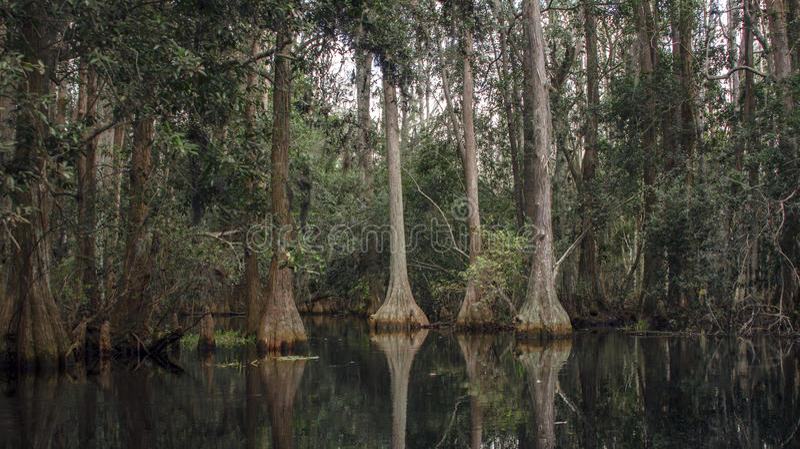 Pântano escuro de Cypress de lagoa, musgo espanhol, reserva natural do nacional do pântano de Okefenokee fotos de stock royalty free