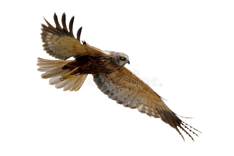 Pântano-harrier ocidental (aeruginosus do circo) imagem de stock