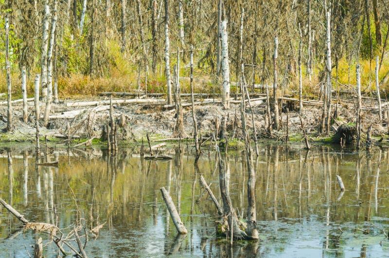 Pântano na região de Arkhangelsk, Rússia imagem de stock royalty free