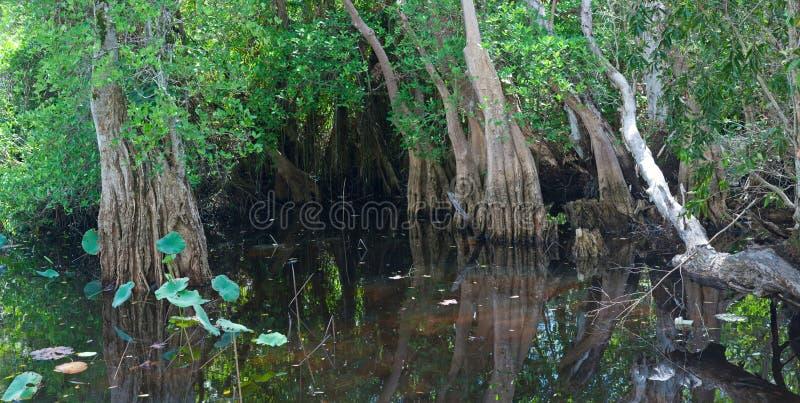 Pântano tropical foto de stock royalty free