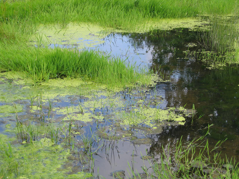 Download Pântano verde foto de stock. Imagem de ooze, aqua, flora - 12802822