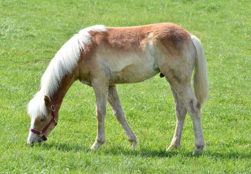Pâturage amish de cheval images stock