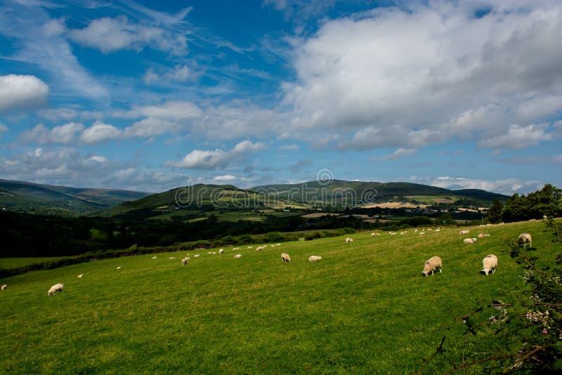 Pâturage avec des moutons en Irlande images libres de droits