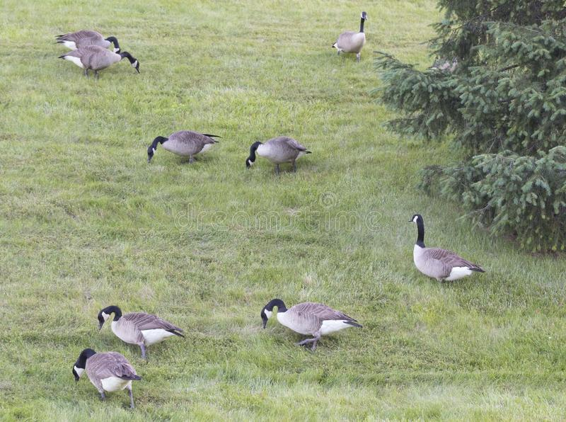 Pâturage canadien de troupeau d'oies photographie stock libre de droits