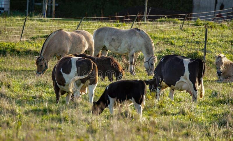 Pâturage de bétail et de chevaux photographie stock