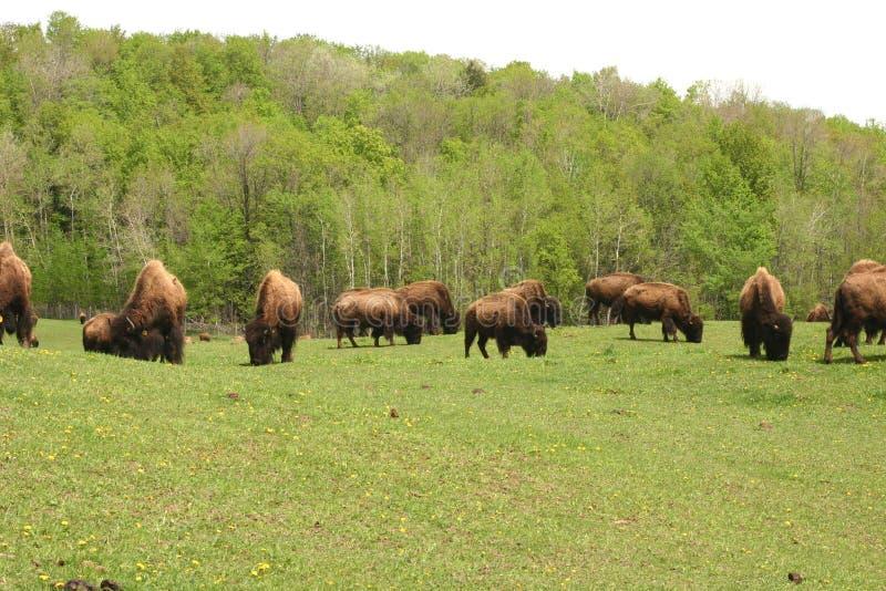 Pâturage de Buffalo photographie stock libre de droits