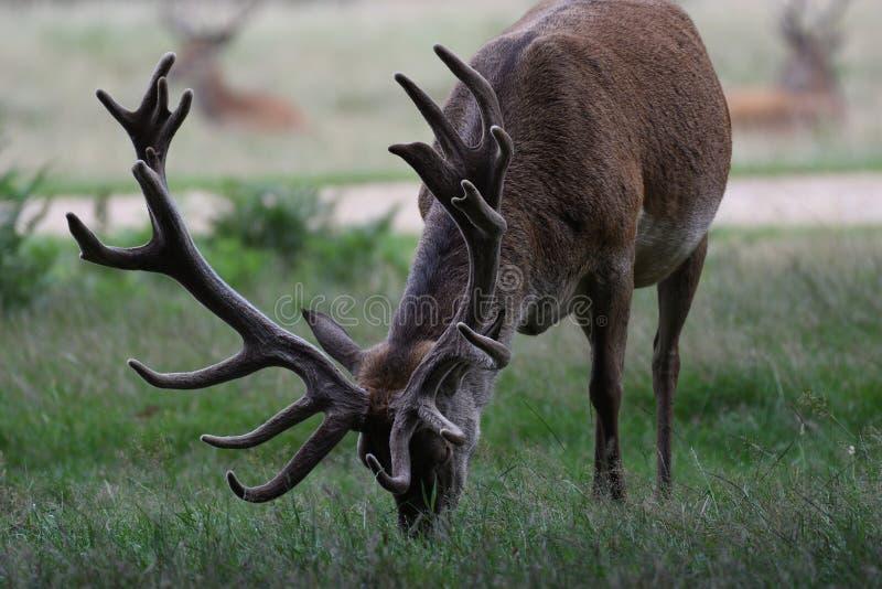 Pâturage de cerfs communs de mâle photographie stock libre de droits