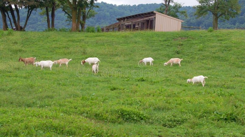 Pâturage de chèvres photos libres de droits