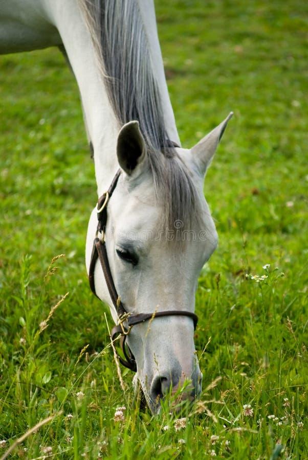 Pâturage de cheval blanc image stock
