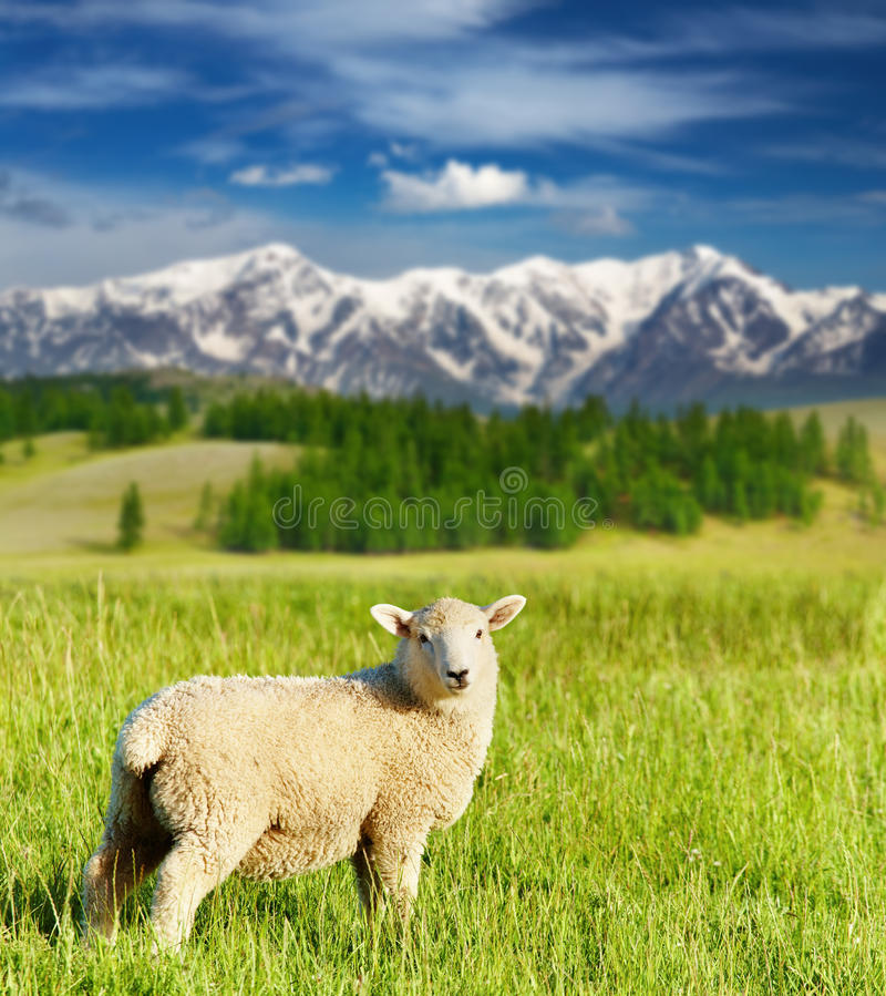 Pâturage de l'agneau photographie stock libre de droits