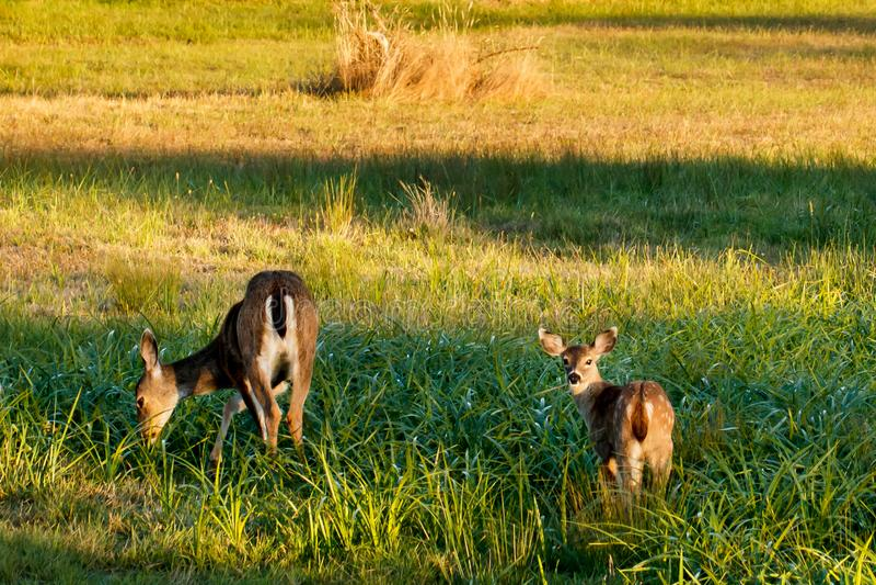 Pâturage de la daine et du faon de cerfs communs de mule dans un pré d'or photo libre de droits