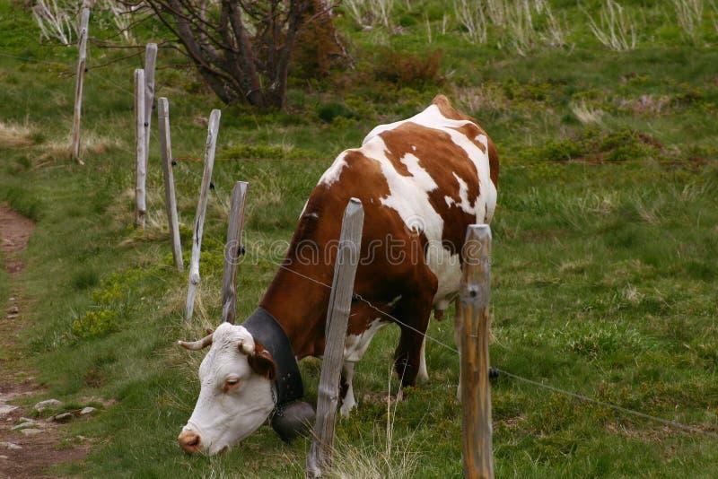 Pâturage de la vache avec une barrière photos libres de droits