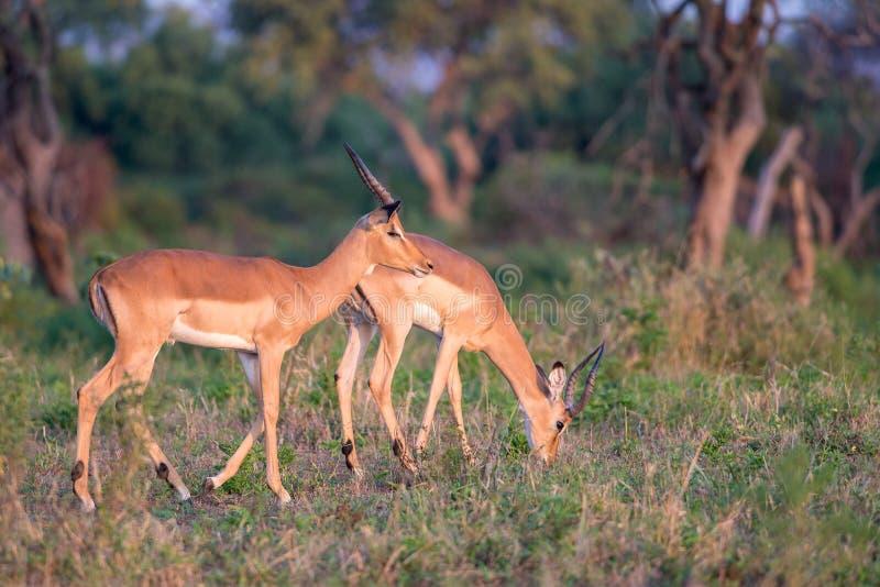 Pâturage de mâles d'impala images libres de droits