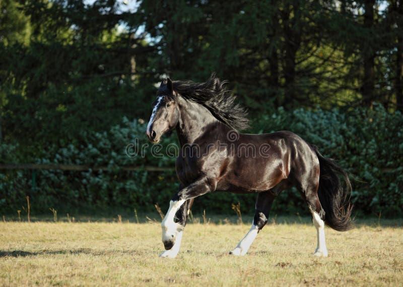 Pâturage de marche d'étalon de baie de cheval de Shire photos libres de droits