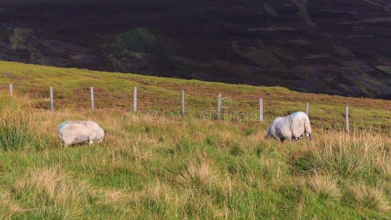 Pâturage de moutons photographie stock