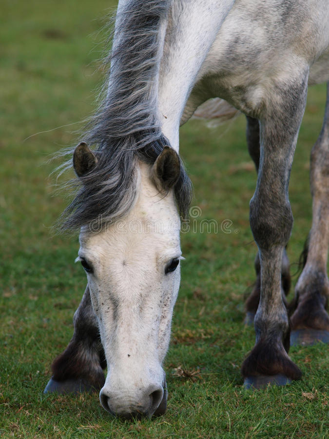 Pâturage de poney de Connemara photos libres de droits