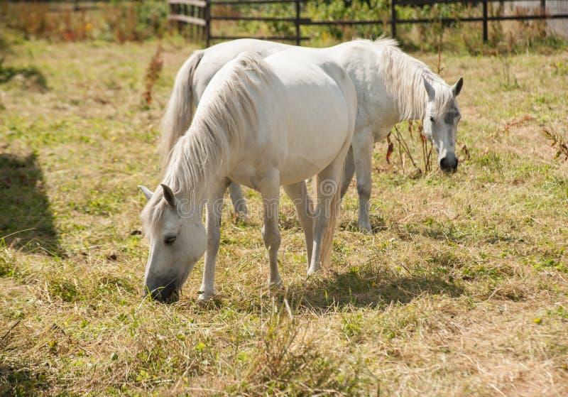 Pâturage de poneys de Connemara photos libres de droits