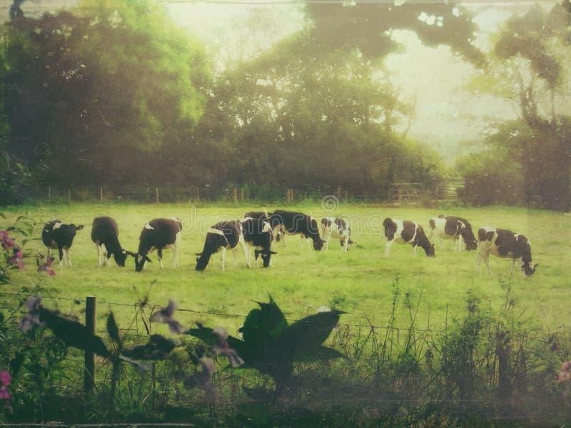 Pâturage de vaches photos libres de droits
