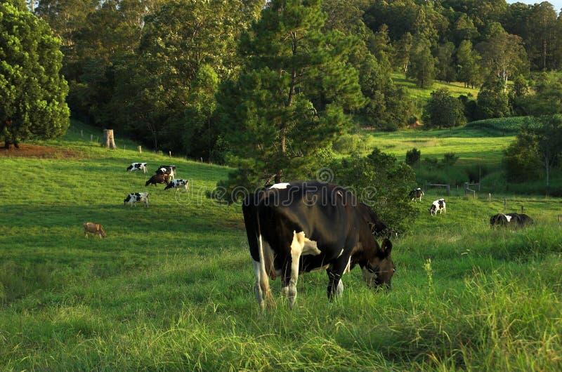 Pâturage de vaches laitières image libre de droits