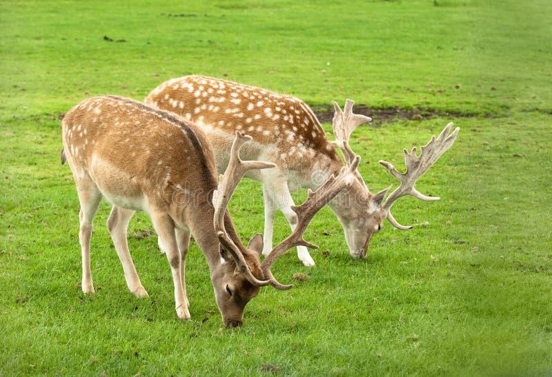 Pâturage des cerfs communs photographie stock libre de droits