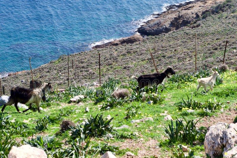 Pâturage des chèvres sur l'île de Leros, la Grèce, l'Europe images libres de droits