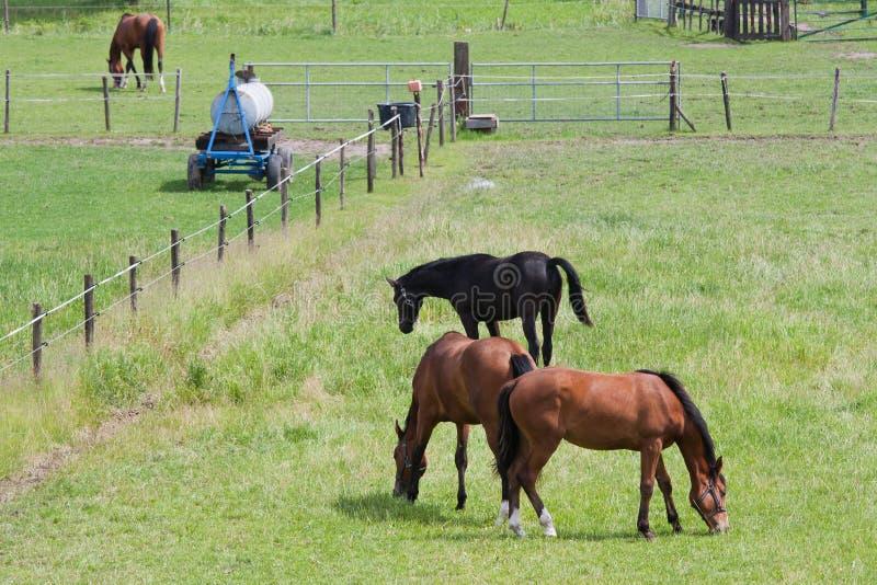Pâturage des chevaux dans un pré avec la borne images libres de droits