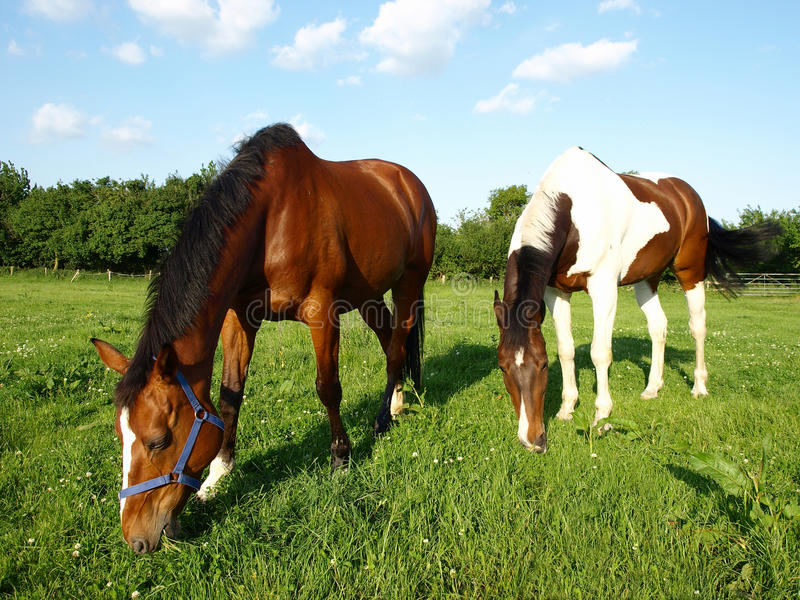 Pâturage des chevaux de pur sang photos libres de droits