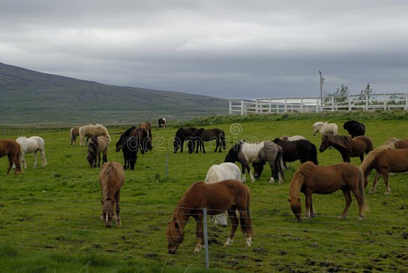 Pâturage des chevaux islandais image libre de droits