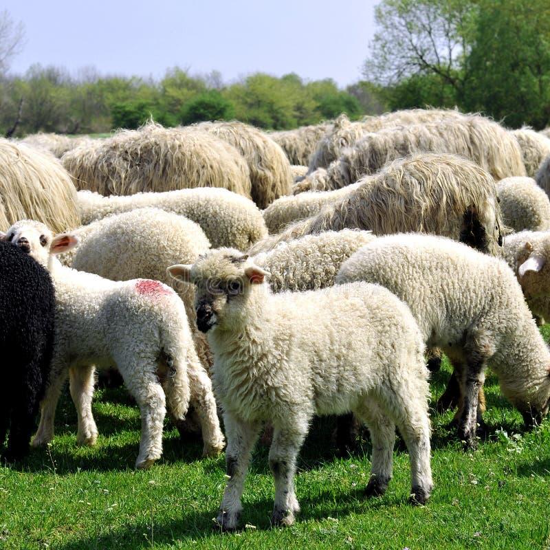 pâturage des moutons photographie stock