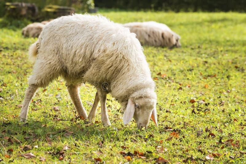 Pâturage des moutons en automne photographie stock libre de droits