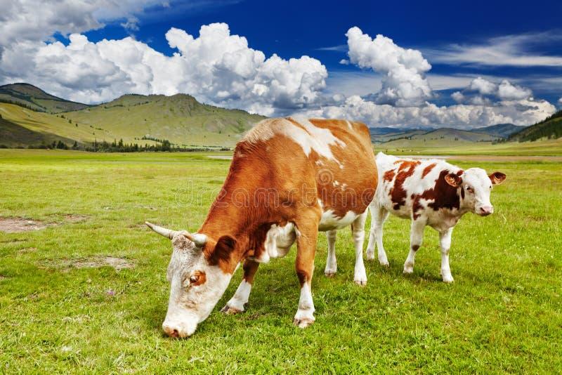 Pâturage des vaches photo stock