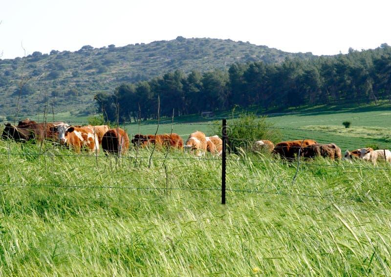 Pâturage des vaches photos stock
