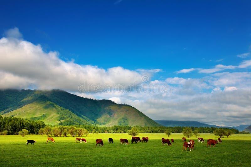Pâturage des vaches photo libre de droits
