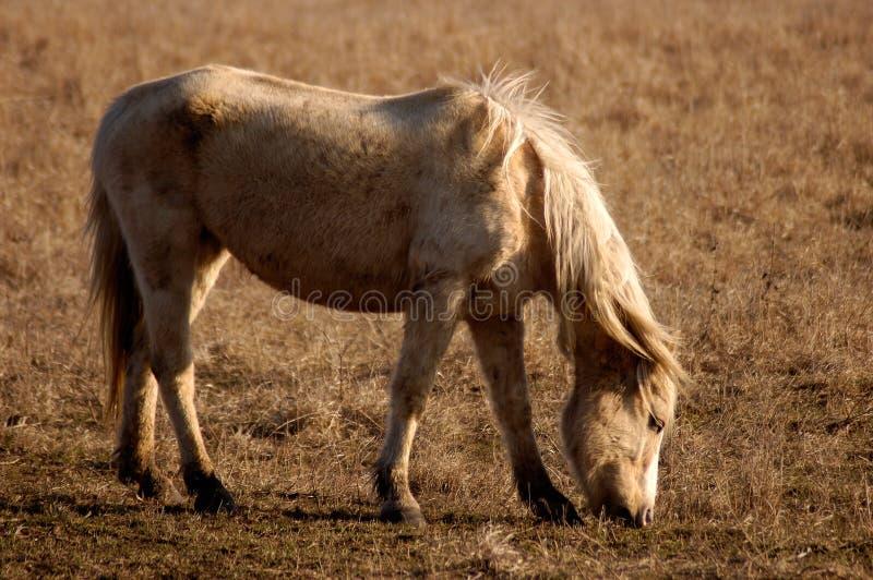 Pâturage du cheval images libres de droits