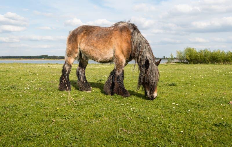 Pâturage du cheval belge de la fin image libre de droits