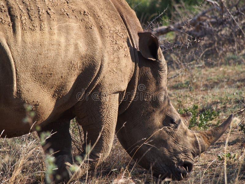 Pâturage du rhinocéros blanc photo stock