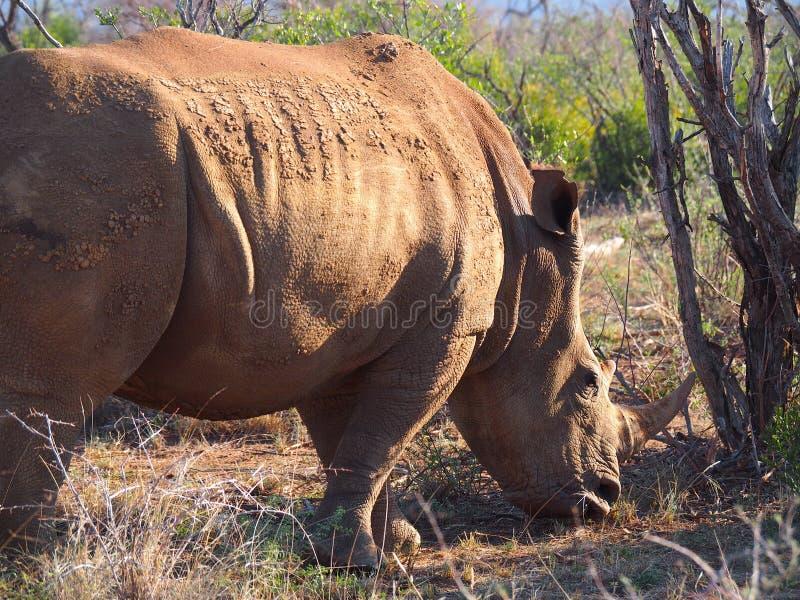 Pâturage du rhinocéros blanc photographie stock