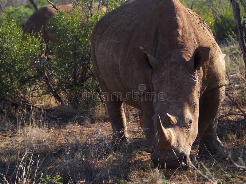 Pâturage du rhinocéros blanc photos stock