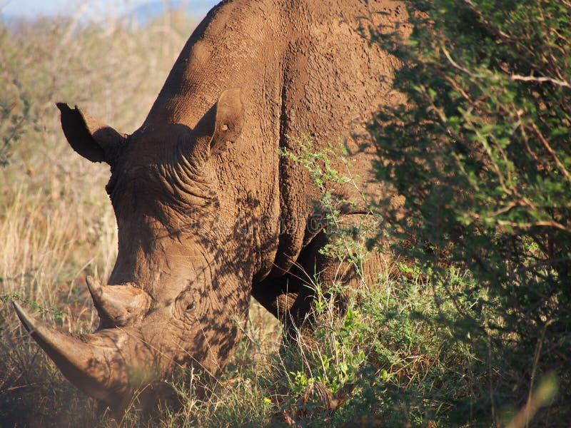 Pâturage du rhinocéros blanc images stock