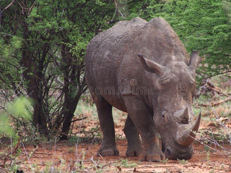 Pâturage du rhinocéros blanc image libre de droits